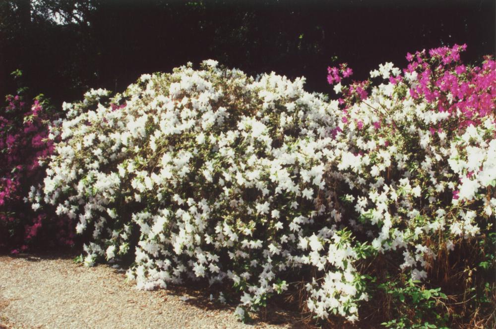 White Azalea Bush Pictures